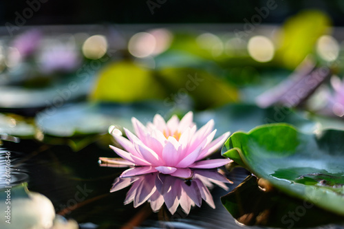Poster de jardin Nénuphars beautiful lotus flower on the water after rain in garden.