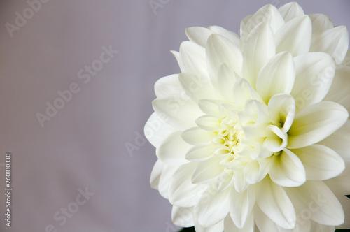 Poster de jardin Dahlia 白背景で撮影した白いダリアの花のアップ