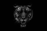 Czarno-biały Piękny tygrys na czarnym tle - 260183949