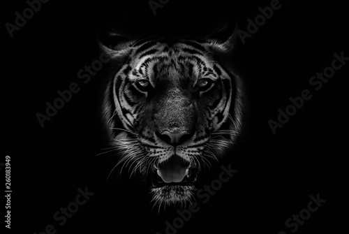 Black & White Beautiful tiger on black background Canvas Print