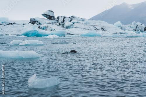 In de dag Pinguin Seal swimming in glacier water covered in icein Nordic landscape in Iceland