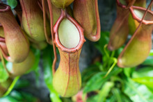 Nepenthes Exotic Funny Thermophilic With Water Collector