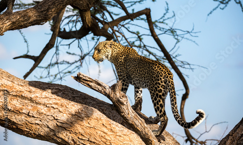 Poster Leopard A leopard is walking up and down the tree on its branches