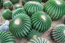 Cactus In A Botanical Garden