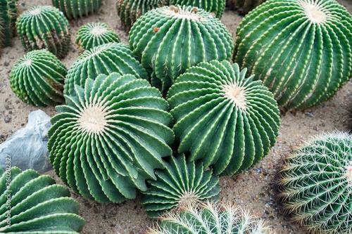 Poster Cactus cactus in a botanical garden