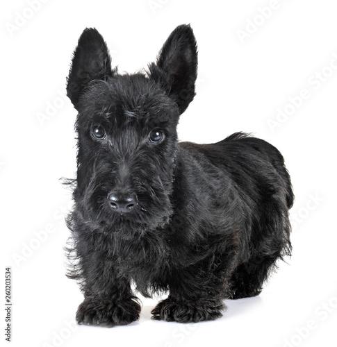 Obraz puppy scottish terrier - fototapety do salonu