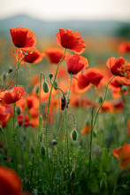 Wonderful Landscape At Sunset. A Field Of Blooming Red Poppies In Cyprus. Wild Flowers In Springtime. Beautiful Natural Landscape In The Summertime. Amazing Nature Sunny Scene.