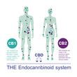 human endocannbinoid system