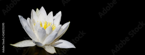 Door stickers Water lilies Panoramic view of water white lily plant in the black background. Space for text