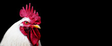 Head White Rooster Chicken Iso...
