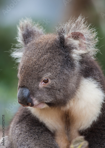 Canvas Prints Koala Portrait cute Australian Koala Bear sitting in an eucalyptus tree and looking with curiosity. Kangaroo island.
