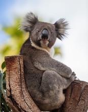 Portrait Cute Australian Koala...