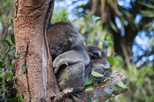 Canvas Prints Cute embracing couple of Australian koala bears mother and its baby sleeping on an eucalyptus tree.