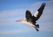 Australian Pelican Pelecanus C...