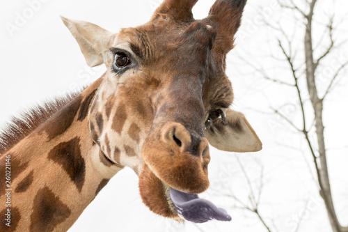Fotobehang Giraffe giraffe resting in a zoo in italy