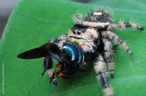 Photo sur Toile Croquis dessinés à la main des animaux spider is eating flies