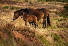 Wild Exmoor Ponies, Seen On Porlock Hill In Somerset, England, UK