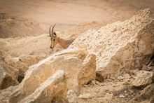 Wild Ibex At Sunrise In Negev ...