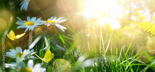 Foto auf Leinwand Indien spring or summer nature background with blooming white flowers and fly butterfly against sunrise sunlight