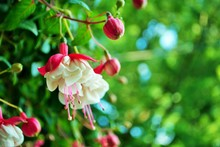 Pink And White Hanging Fuchsia Flower