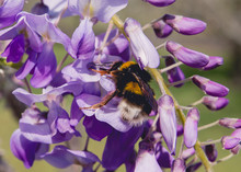 Bumble Bee Pollinating Wisteria Plant Purple Flowers