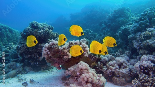 Beautiful underwater scenery - coral reef and shoal of yellow masked butterfly fish, blue-cheeked butterflyfish