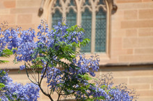 Blooming Jacaranda Tree With P...