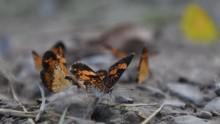 Close Up Of Silvery Checkerspot Butterfly On Muddy Ground
