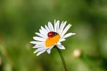 Ladybird On A Beautiful Daisy Flower On A Green Meadow