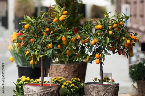 Fényképezés closeup of orange tree at the florist
