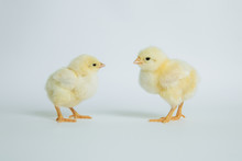 Yellow Chickens On White Backg...