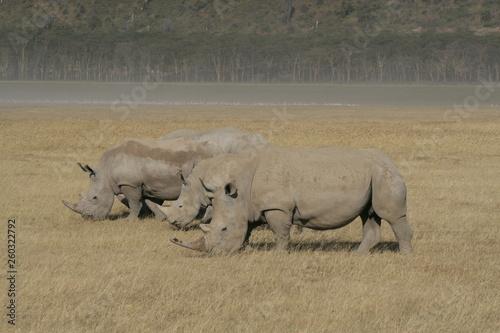 Spoed Foto op Canvas Neushoorn Three African White Rhino, square-lipped rhinoceros, Lake Nakuru, Kenya.