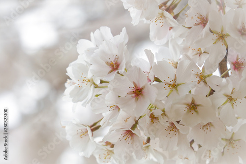 Cherry blossoms with beautiful blurred out background light streaming through
