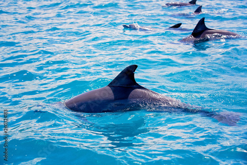 Fotografie, Obraz  Flipper dolphins in the open ocean