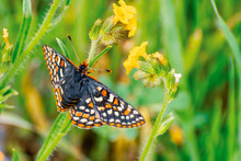 Close Up Of Bay Checkerspot Bu...