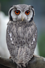 White-Faced Scops Owl Perched ...