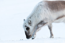 Svalbard Reindeer Looking For ...