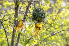 A Pair Of Weaver Birds Building A Nest