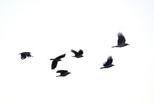 Flying Crows White Background