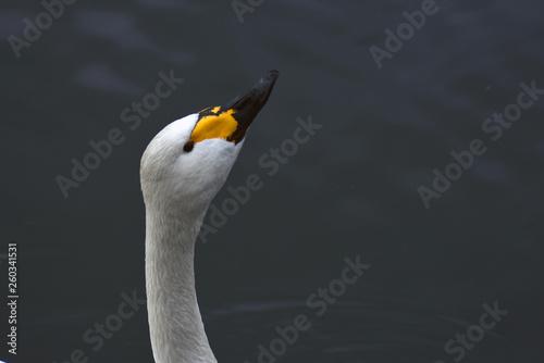 Foto op Canvas Zwaan A white swan swims in blue water