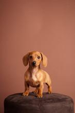 Adorable Miniature Dachshund P...