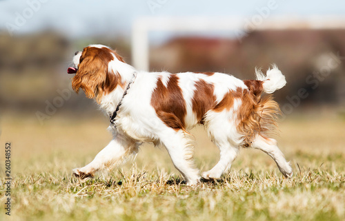 Fotografia Cavalier King Charles Spaniel dog on the grass