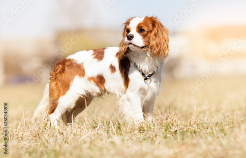 Obraz Cavalier King Charles Spaniel dog on the grass - fototapety do salonu