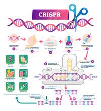 CRISPR Vector Illustration. Labeled Clustered Regularly Palindromic Repeats