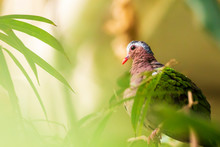 Asian Emerald Dove, Or Grey-capped Emerald Dove Chalcophaps Indica Perched