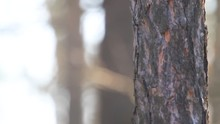 Woodpecker Sits And Hollows With A Beak On A Tree And Flies Away