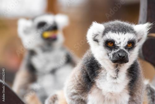 Photo  Portrait of a cute ring tailed Lemur, Lemur Catta .