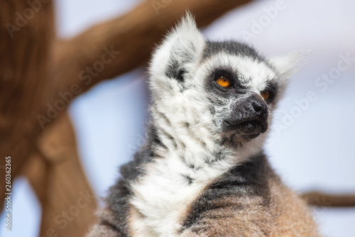 Photo  Portrait of a cute ring tailed Lemur, Lemur Catta .