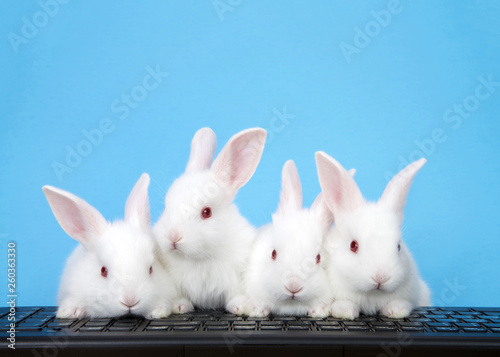 Fotografia Four adorable white albino baby bunnies perched on a computer keyboard with blue background
