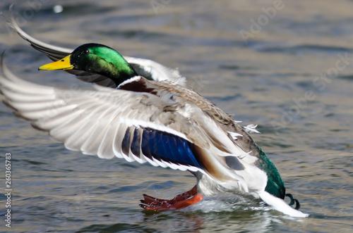 Mallard Duck Landing on the Cool Water Fototapeta